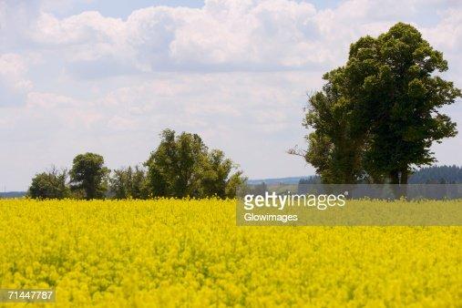 Yellow flowers in a field, Czech Republic