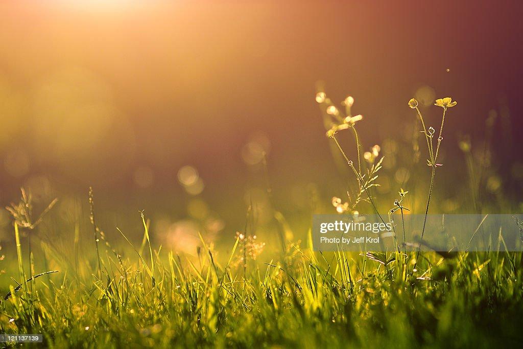 yellow flowers in golden sunlight
