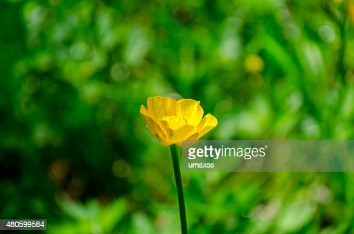 Yellow flowers in green grass close up : Stock Photo