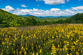 Yellow flowers with mountains in the distance in the Smoky Mountains near Maggie Valley, North Carolina.