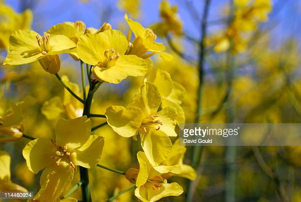 Yellow flowers of an oil seed rape crop