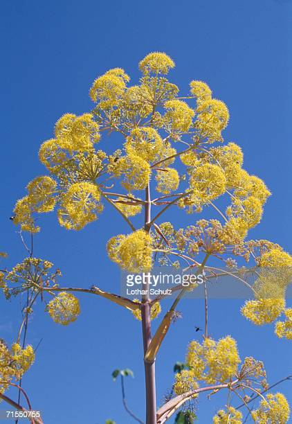 Yellow flowers of fennel plant
