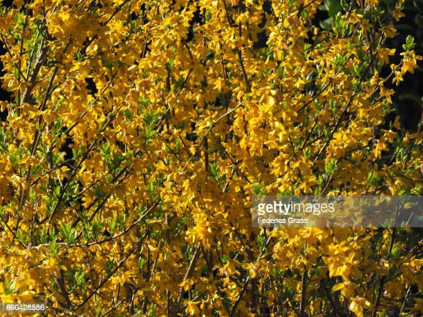 Yellow Flowers of Forsythia