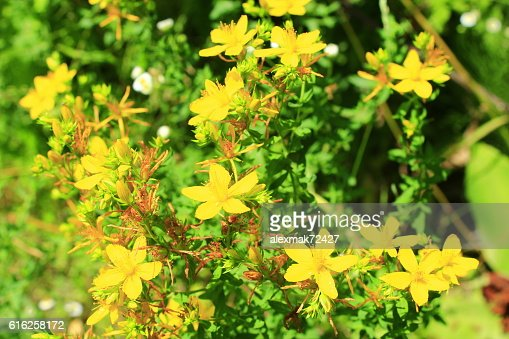Yellow flowers of St.-John's wort : Foto de stock