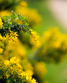 Yellow flowers of the common gorse bush with a blurry background growing in park
