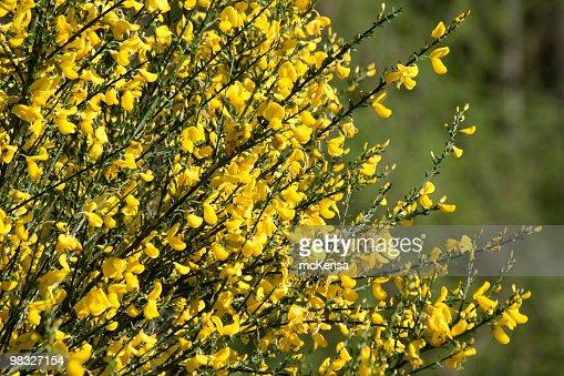 Yellow flowers on gorse bush stock photo getty images yellow flowers on gorse bush stock photo mightylinksfo