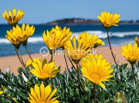 Yellow flowers on the beach stock photo thinkstock yellow flowers on the beach stock photo mightylinksfo