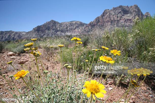 Yellow flowers, Red Rock Canyon National Conservation Area in Nevada, USA