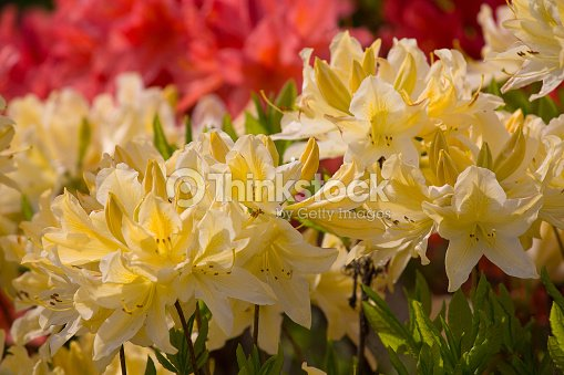 Yellow Flowers Rhododendron In The Garden Nature Stock Photo
