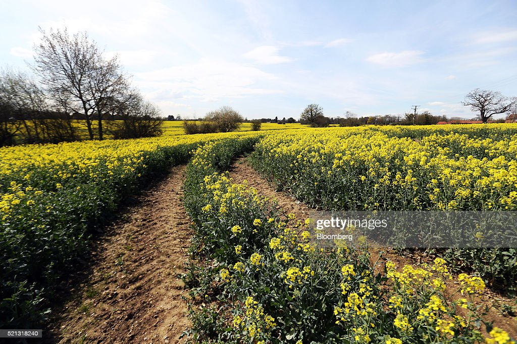 Yellow Flowers Sit On The Stems Of Eed Crops In A Farmer S Field Ingatestone