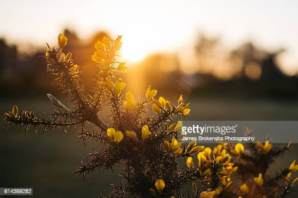 yellow flowers sunset
