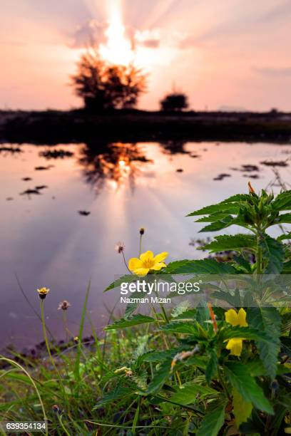 Yellow flowers with sunrise at the background