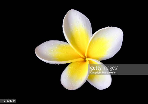 Yellow  frangipani flower