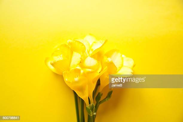 Yellow Freesia flowers on a yellow background