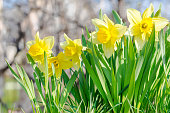 yellow garden flowers