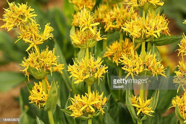 Gelbe Herbstenzian (gentiana sarcoma