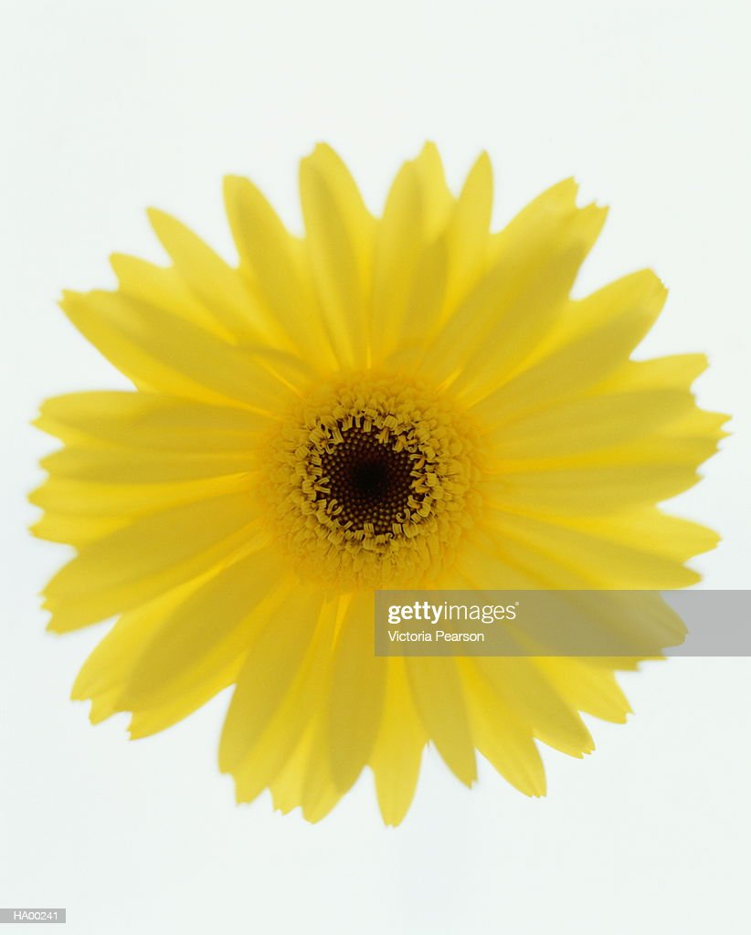 Yellow Gerber daisy (Gerbera jamesonii), close-up : Stock Photo
