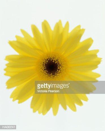 Yellow Gerber daisy (Gerbera jamesonii), close-up : Stock Photo
