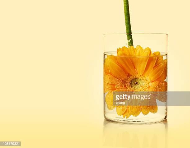 黄色ガーベラの水の