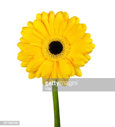 Yellow Gerbera Flower with Green Stem Isolated : Stock Photo