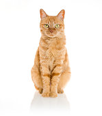 yellow ginger cat pet isolated