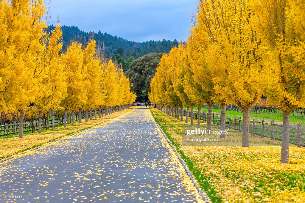 yellow ginkgo trees on road lane in napa valley california