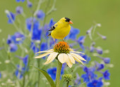 """American Goldfinch (male), in bright Summer plumage perched in Backyard Flower Garden"""