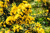 Yellow gorse flowers on a bush, shallow depth of field. Captured in Ireland.