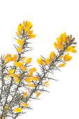 Yellow gorse flowers shrub isolated over white