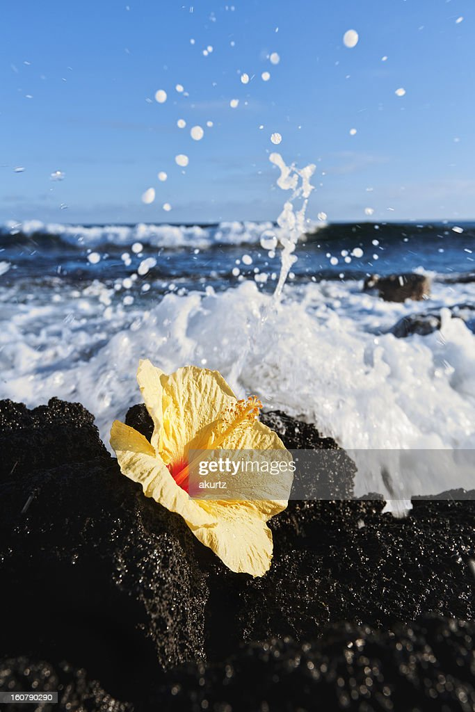 Yellow Hibiscus flower resting on lava rock splashed by ocean : Stock Photo