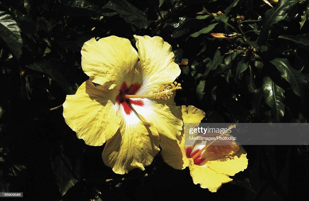 Yellow Hibiscus : Stock Photo