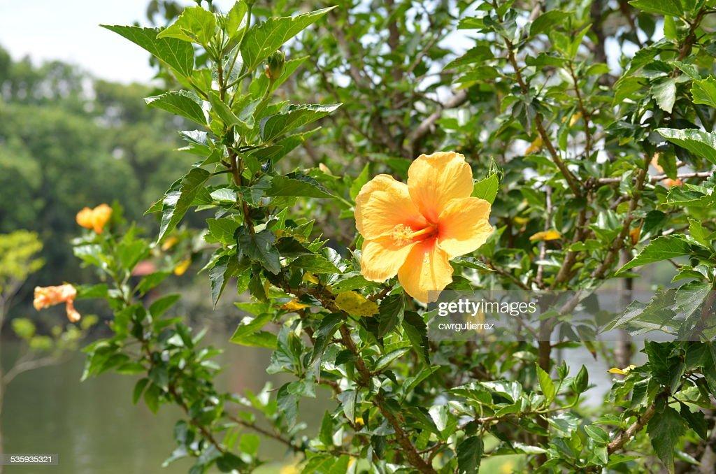 Yellow Hibusco : Stock Photo