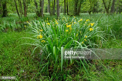 yellow iris iris pseudacorus flowering in an alder carr. Black Bedroom Furniture Sets. Home Design Ideas