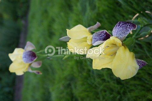 gelbe iris mit bunten bl tenbl ttern vor dem hintergrund. Black Bedroom Furniture Sets. Home Design Ideas
