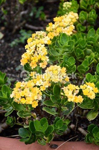 Jaune Fleur De Kalanchoe Blossfeldiana Photo Thinkstock