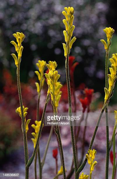 Yellow Kangaroo Paw in flower.