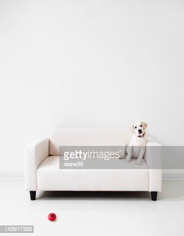 Yellow lab in a white room : Stock Photo