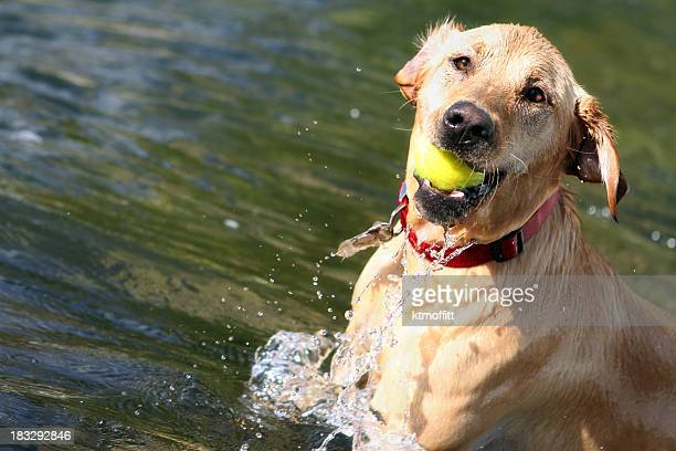 Yellow Lab In Action