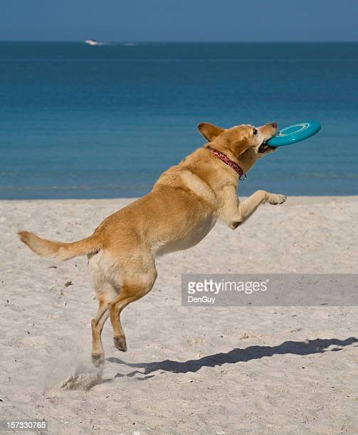 Yellow Lab in Mid-Air Catches Frizbee at the Beach