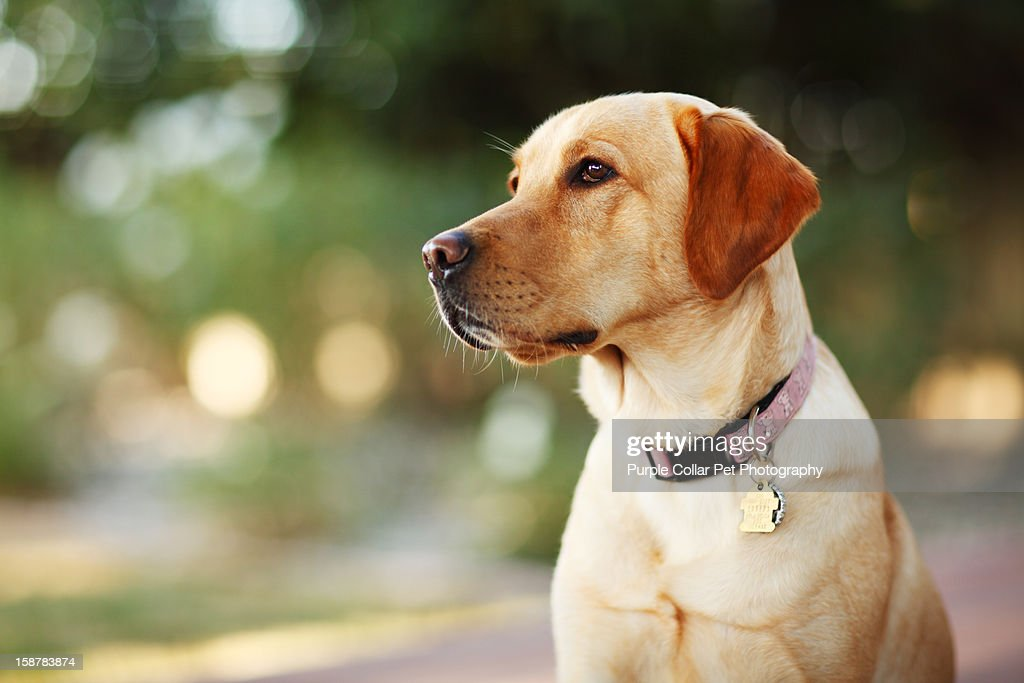 Yellow Lab looking off-Camera