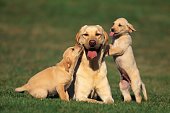 Yellow Lab Mother and Puppies
