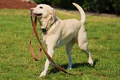 Yellow Labrador Retriever taking herself for a walk in the park