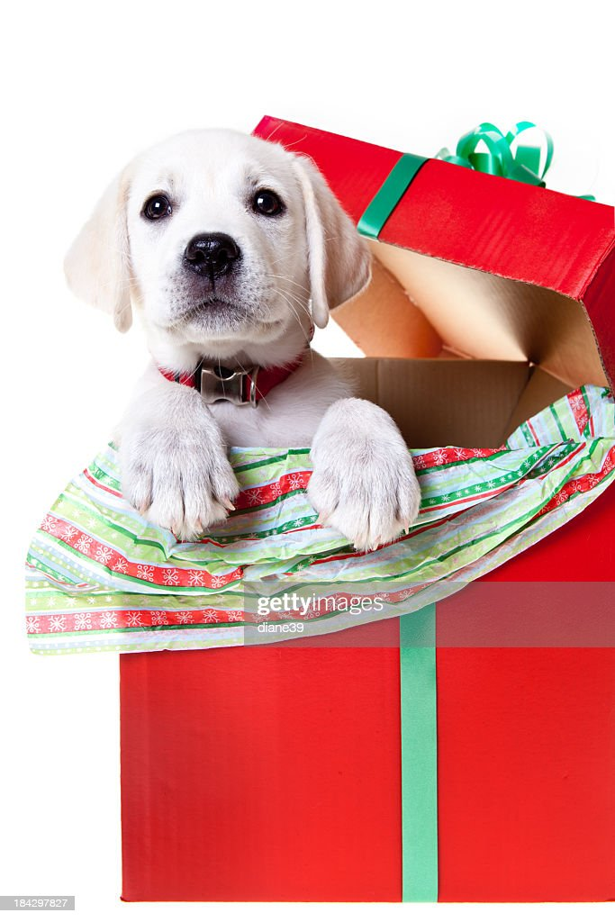 yellow lab puppy in a christmas box stock photo