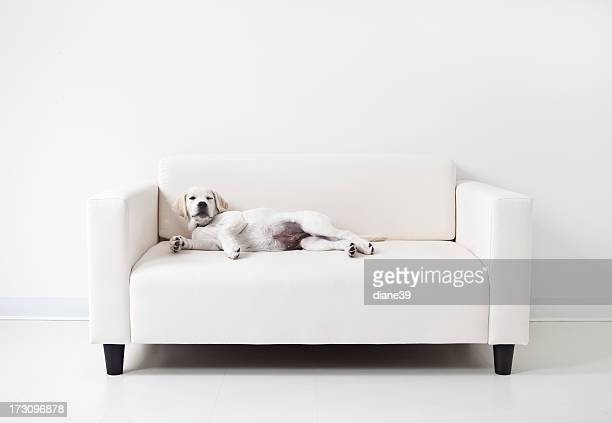 Yellow lab puppy lounging on a white couch
