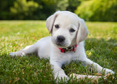 An eight week old yellow Labrador Retriever puppy outdoors lying in the grass.