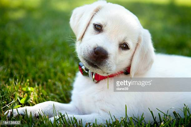 Yellow lab puppy outdoors
