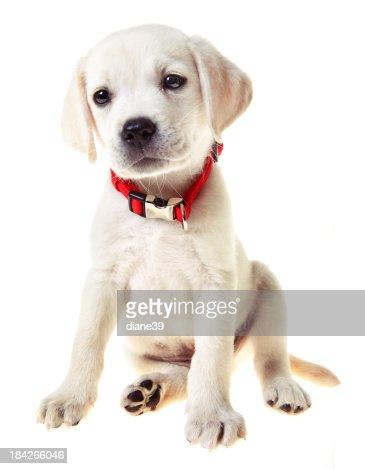 黄色ラボ子犬