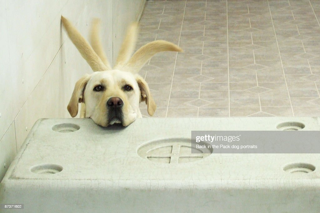 Yellow lab resting head on crate wagging tail