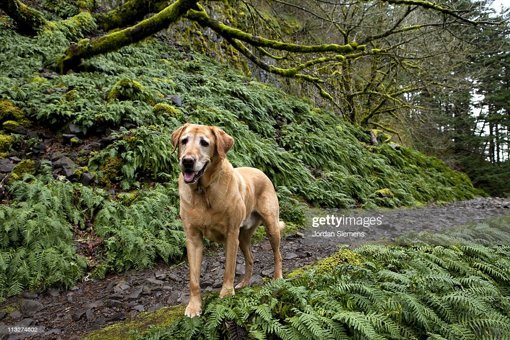 Yellow lab standing on a trail. : Stock Photo