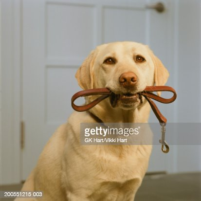Yellow Labrador holding leash in mouth, close-up : Bildbanksbilder